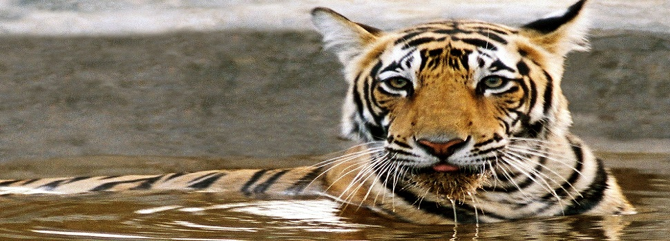 tiger-safari-ranthambhore