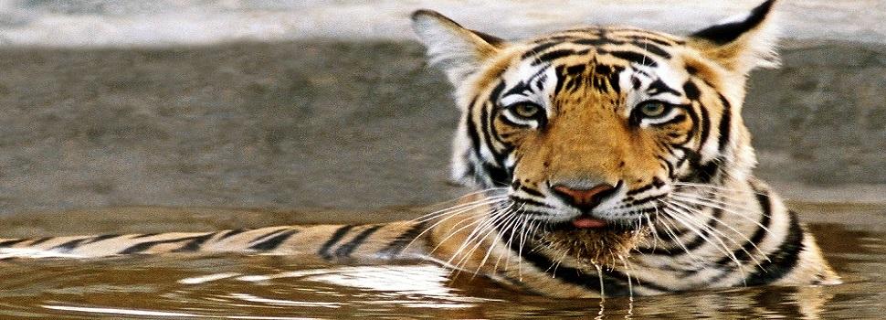 tiger-safari-ranthambhore